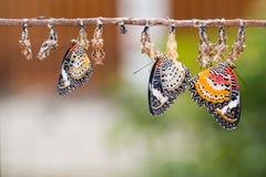 Mariposas del lacewing del leopardo Foto de archivo