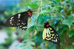 Mariposas del priamus de Ornithoptera (varón y hembra) Fotos de archivo libres de regalías