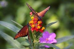 Mariposas en el salvaje. Foto de archivo libre de regalías