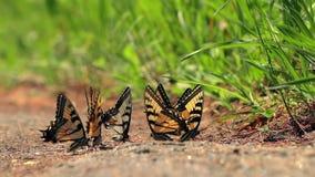 Mariposas en la cámara lenta almacen de video