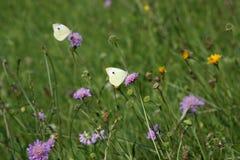 Mariposas en la flor Fotografía de archivo libre de regalías