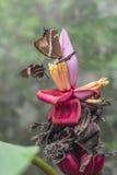 Mariposas en la flor tropical exótica Fotografía de archivo libre de regalías