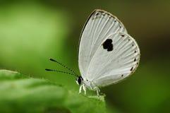Mariposa en la hoja, fulgens de Pithecops Imagen de archivo