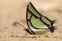 Mariposa en la tierra, narcaea de Polyura Foto de archivo