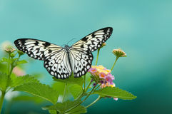Mariposas en las flores Imagen de archivo libre de regalías