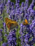 Mariposas en las flores de la lavanda Fotografía de archivo