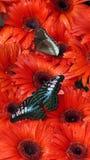 Mariposas en las flores rojas Imagenes de archivo