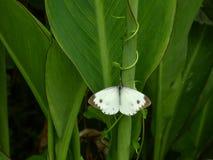 Mariposas en las hojas de Canna imagenes de archivo
