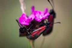Mariposas en las pequeñas flores salvajes rosadas Imagenes de archivo