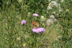 Mariposas en un campo Fotos de archivo libres de regalías