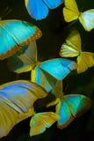 Mariposas en un fondo negro Imágenes de archivo libres de regalías