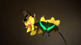 Mariposas en una flor almacen de metraje de vídeo