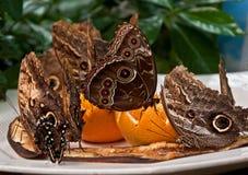 Mariposas exóticas del buho que introducen en la fruta Fotos de archivo libres de regalías