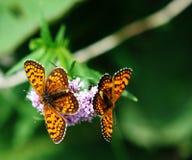 Mariposas gemelas Imágenes de archivo libres de regalías