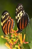 Mariposas grandes del tigre Imagen de archivo libre de regalías