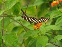 Mariposas hermosas de la donadora de polen en Costa Rica Fotos de archivo libres de regalías