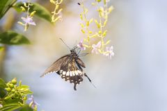 Mariposas hermosas en un ramo de flores púrpuras imágenes de archivo libres de regalías