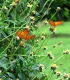 Mariposas hermosas que alimentan en la hierba floreciente fotos de archivo