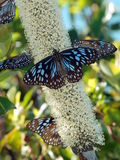 Mariposas hermosas, tigre azul (hamata de Tirumala) Fotografía de archivo libre de regalías