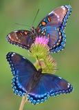 mariposas púrpuras Rojo-manchadas Fotografía de archivo libre de regalías