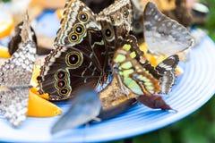 Mariposas que alimentan en la fruta imagen de archivo