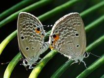 Mariposas que se acoplan en las hojas verdes Foto de archivo