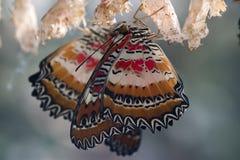 Mariposas recientemente tramadas Foto de archivo libre de regalías