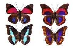 Mariposas tropicales Imagen de archivo