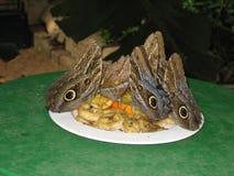 Mariposas tropicales que comen la fruta fresca Foto de archivo libre de regalías