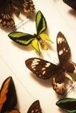 Mariposas tropicales y montadas imagen de archivo libre de regalías