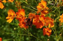 Mariposas y amapolas Imagen de archivo libre de regalías