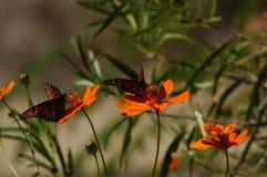 Mariposas y amapolas Fotografía de archivo libre de regalías