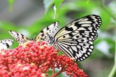 Mariposas y flores grandes de las ninfas del árbol imagen de archivo libre de regalías