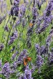 Mariposas y lavanda Foto de archivo