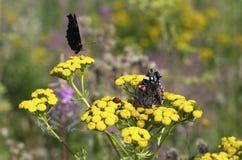 Mariposas y mariquita en las flores amarillas del tansy Fotografía de archivo libre de regalías