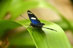 Maripoza Azul Fotografering för Bildbyråer