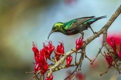 Mariqua Sunbird in het Nationale park van Kruger, Zuid-Afrika stock fotografie
