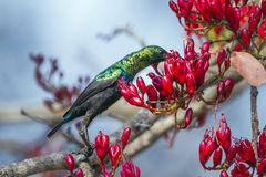 Mariqua Sunbird in Kruger National park, South Africa Royalty Free Stock Photo