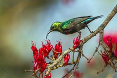 Mariqua Sunbird in Kruger National park, South Africa Stock Photography