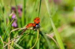 Mariquita altísima en el tallo de la hierba de la primavera Foto de archivo libre de regalías