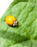 Mariquita anaranjada sin los puntos en Bean Leaf verde Imagenes de archivo