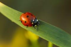Mariquita de los escarabajos en hierba verde Fotos de archivo libres de regalías