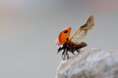 mariquita del Siete-punto que toma vuelo Imagen de archivo