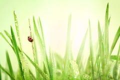 Mariquita e hierba verde fresca con las gotitas después de la lluvia detrás imagen de archivo libre de regalías