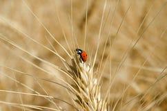 Mariquita en el oído del trigo en la foto del primer del campo Imagen de archivo