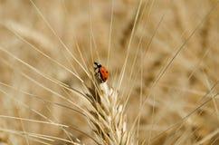 Mariquita en el oído del trigo en la foto del primer del campo Foto de archivo