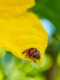 Mariquita en el pétalo de la flor Foto de archivo
