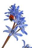 Mariquita en el Snowdrop azul Imagen de archivo libre de regalías