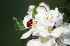 Mariquita en flor del manzano Foto de archivo