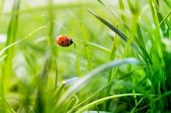 Mariquita en hierba en cierre macro del jardín para arriba imagenes de archivo